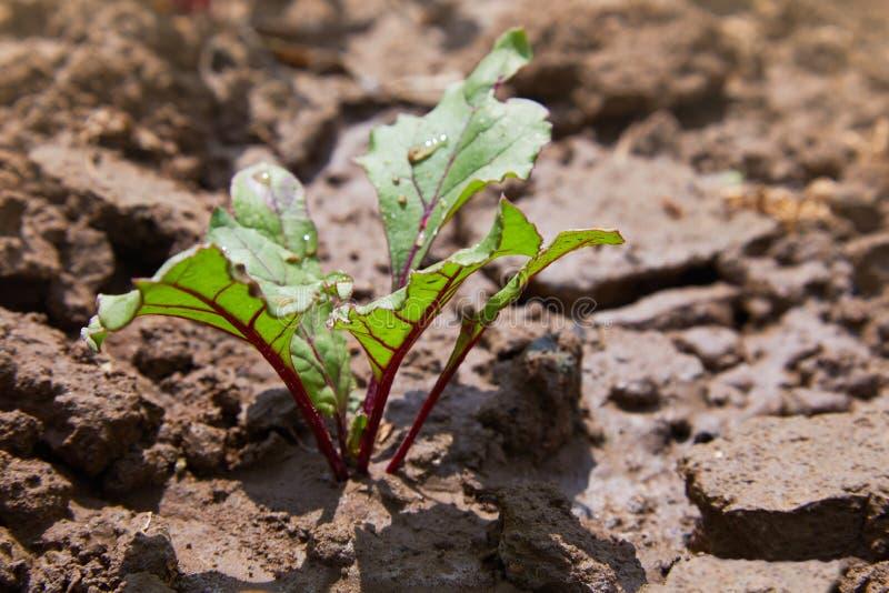 Bladet av beta rotar Nya gröna sidor av rödbeta eller beta rotar plantan royaltyfri bild
