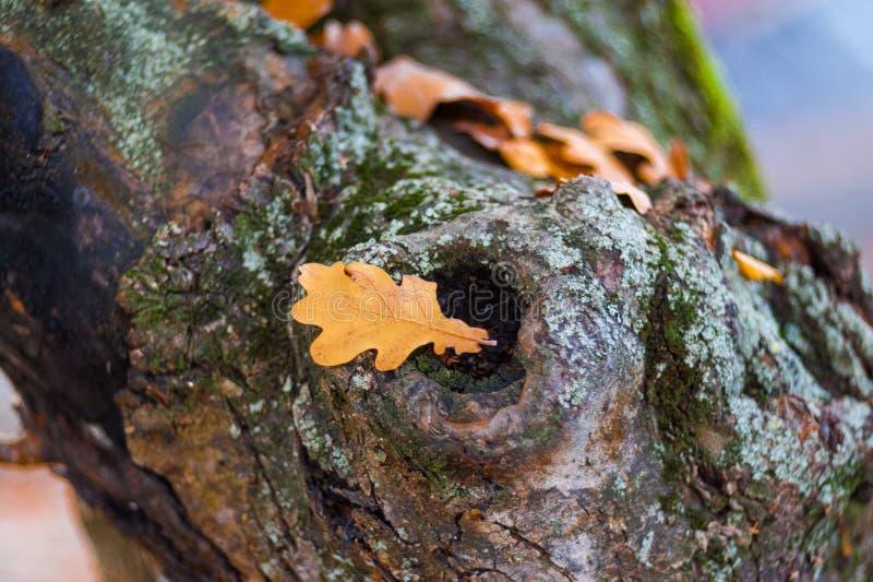 Bladet för den gula eken ligger på trädet Hello Oktober som märker kortet höstbladek som ligger på gammal stubbe Wood textur, slu arkivfoton