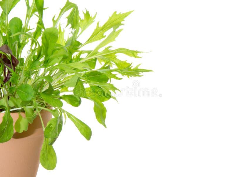 Bladgrönsak i en flowerpo royaltyfri fotografi