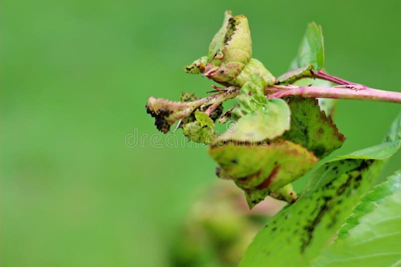 Bladlusuppehälle på ett körsbärsrött träd royaltyfria foton