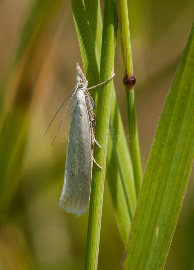 Bladmijnwerker Moth - de Beklaagde stock afbeelding