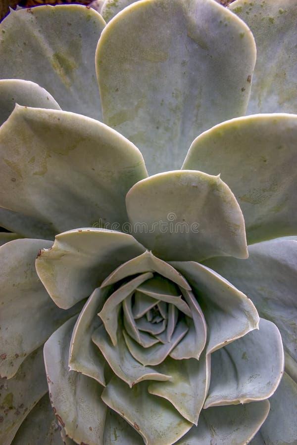 Bladmodellen av en suckulent växt för echeveria arkivfoton