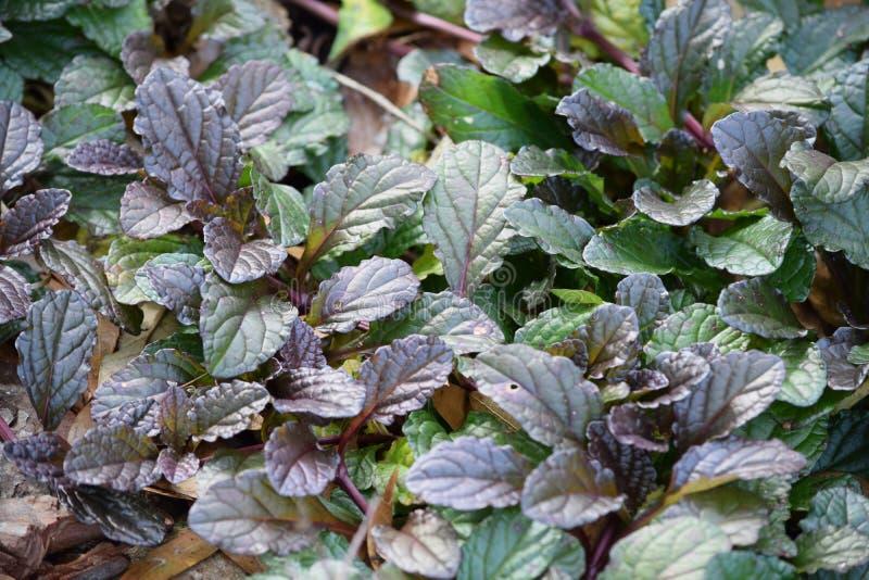 Bladosaka purple mustard greens royalty-vrije stock foto