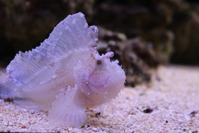 Bladscorpionfish stock foto