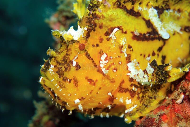 Bladscorpionfish royalty-vrije stock foto's