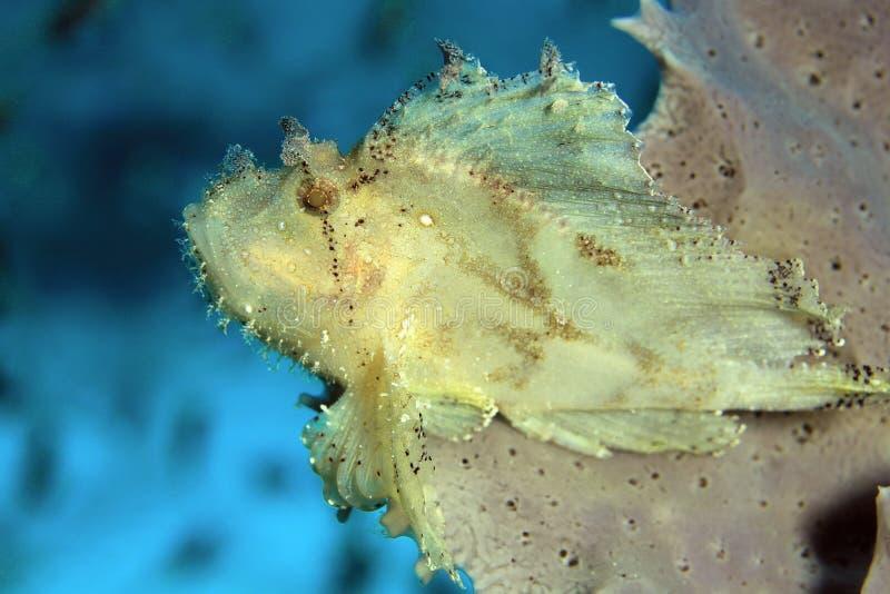 Bladscorpionfish stock afbeeldingen