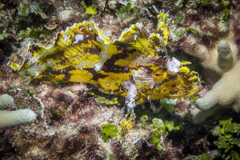 Bladscorpionfish stock foto's