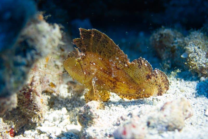 Bladscorpionfish op Coral Reef stock foto's