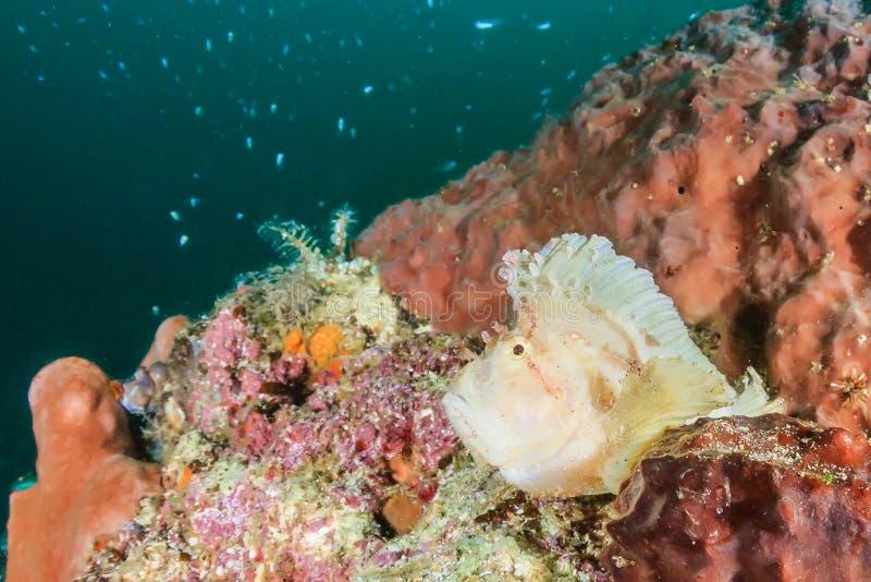 Bladscorpionfish op een donkere duistere middag op de Ertsader van Han stock fotografie