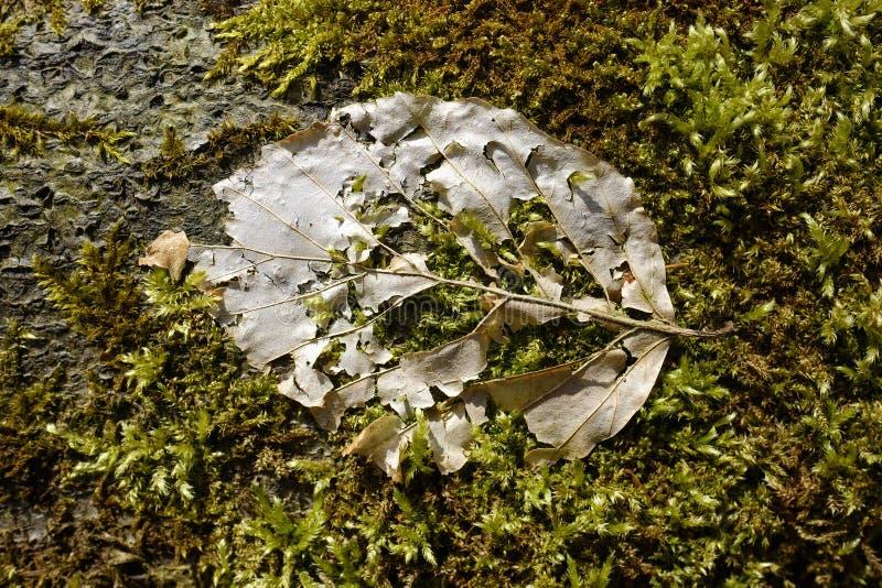 Bladskelet op mos stock afbeelding
