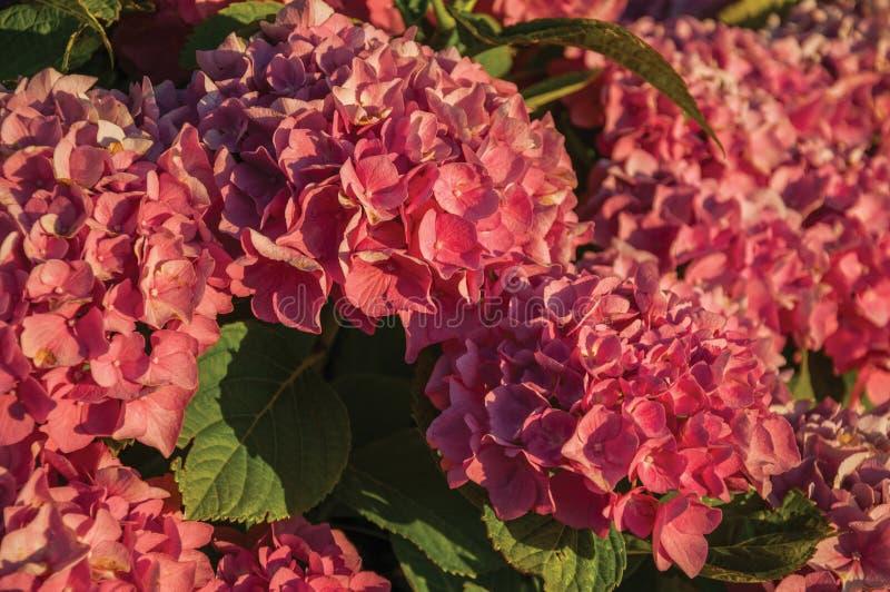 Bladstruik met kleurrijke bloemen van hydrangea hortensia op zonsondergang stock afbeeldingen
