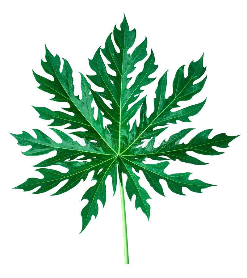 Bladvormige scherpe bladeren voor huisdecoratie royalty-vrije stock afbeeldingen
