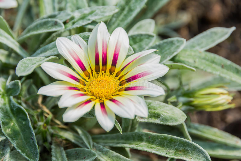 Blady biały i fiołkowy barwiony tygrysi gazania kwiat obrazy royalty free
