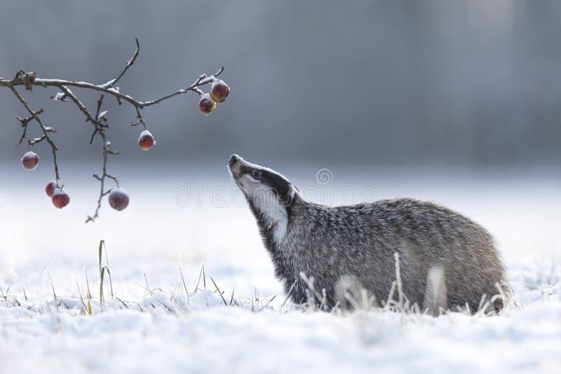 Blaireau en hiver avec des pommes image stock