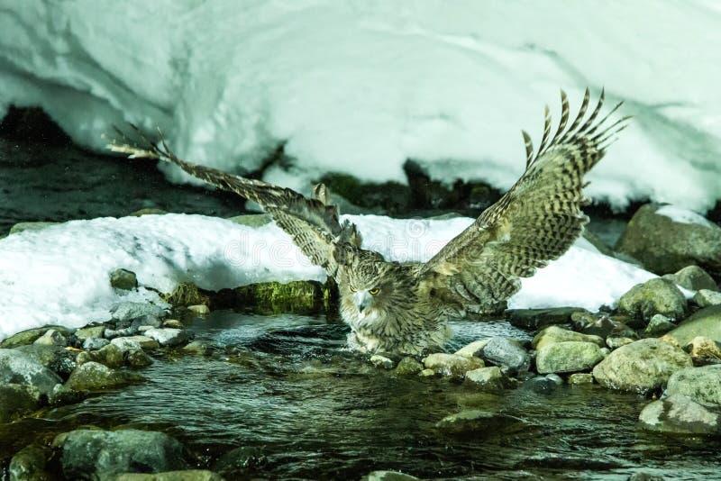 Blakiston rybia sowa, ptasi polowanie w rybie w zimnej wody zatoczce, unikalny naturalny piękno hokkaido, Japonia, birding przygo fotografia royalty free