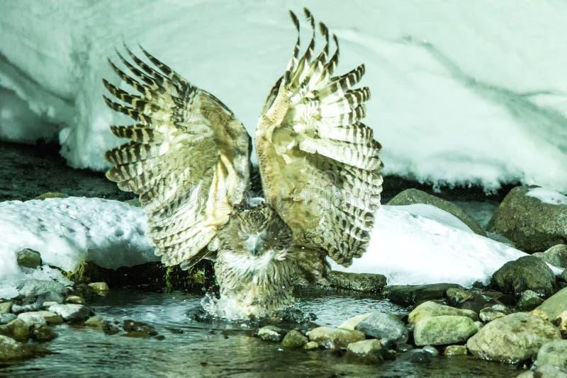 Blakiston rybia sowa, ptasi polowanie w rybie w zimnej wody zatoczce, unikalny naturalny piękno hokkaido, Japonia, birding przygo zdjęcie royalty free
