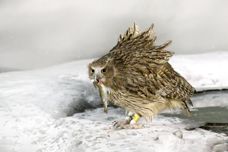 Blakiston-` s Fischeule, Fangfisch in der Rechnung, größte lebende Spezies der Eule, Fischeule, Uhu Vogeljagd im kalten Wasser Wi stockfotografie
