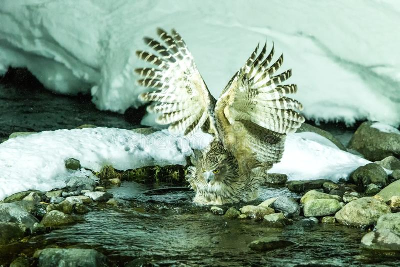 Blakiston`s fish owl, bird hunting in fish in cold water creek,  unique natural beauty of Hokkaido, Japan, birding adventure in As. Ia, big fishing bird in stock photos