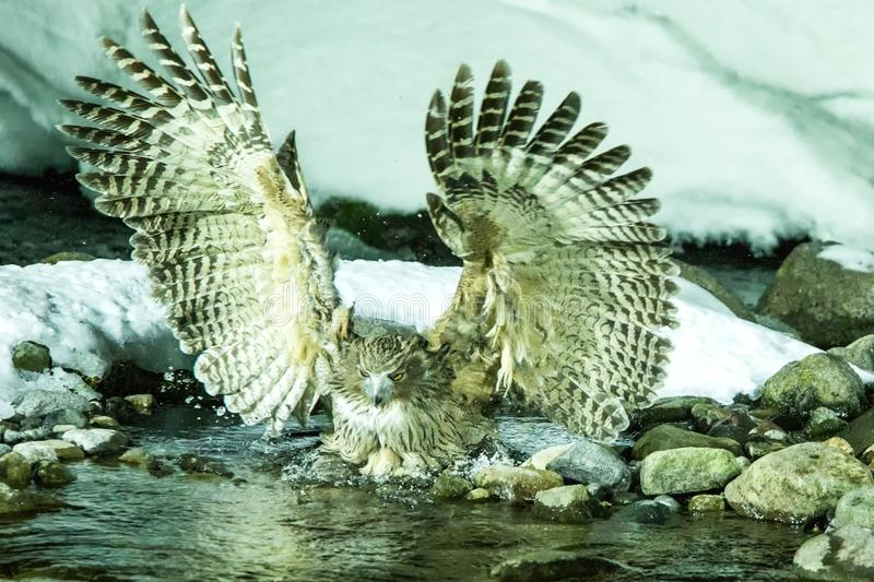 Blakiston`s fish owl, bird hunting in fish in cold water creek,  unique natural beauty of Hokkaido, Japan, birding adventure in As. Ia, big fishing bird in stock images