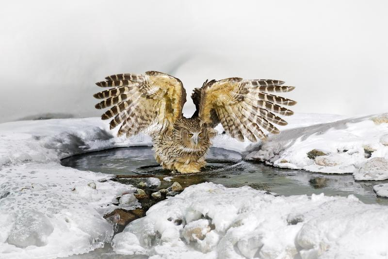 Blakiston`s fish owl, Bubo blakistoni, largest living species of owl, fish owl, a sub-group of eagle. Bird hunting in cold water. Blakiston`s fish owl, Bubo royalty free stock photography