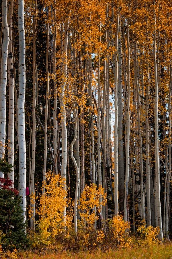 Blanc-écorce grande Aspen Trees avec les feuilles jaunes photographie stock