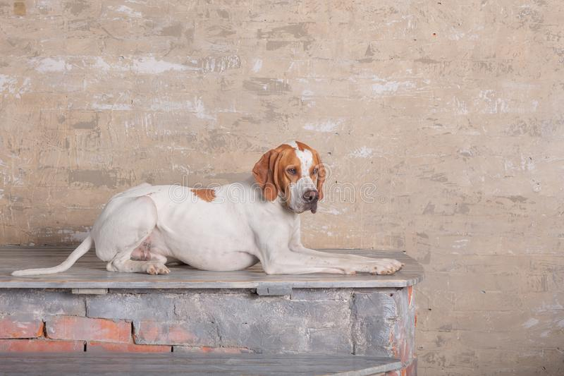 Blanc avec l'indicateur anglais rouge posant dans un studio de photo au fond du mur de briques de cru images stock
