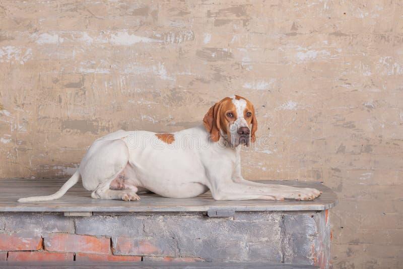 Blanc avec l'indicateur anglais rouge posant dans un studio de photo au fond du mur de briques de cru photographie stock