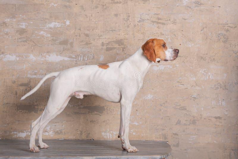 Blanc avec la position anglaise rouge de chien d'indicateur dans un studio de photo au fond du mur de briques de cru photo stock