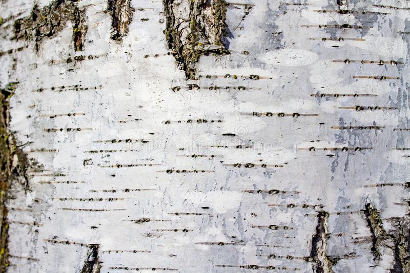 Blanc avec le bouleau noir d'arbre d'écorce de texture de fond photo libre de droits