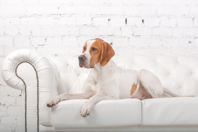 Blanc avec le chien anglais rouge d'indicateur dans le studio de photo photographie stock libre de droits