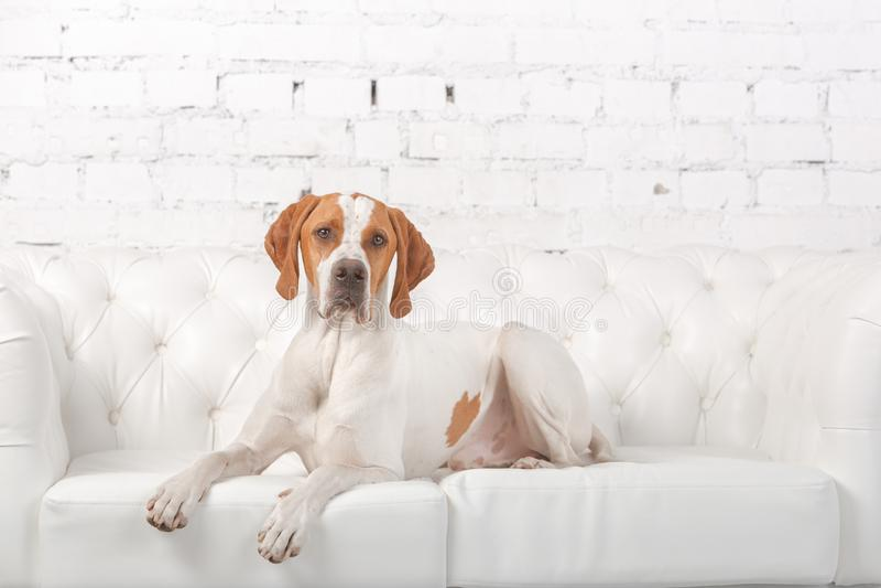 Blanc avec le chien anglais rouge d'indicateur posant dans un studio de photo au fond du mur de briques blanc photos stock