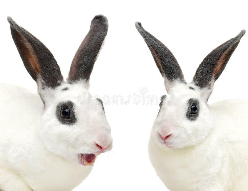 blanc avec le lapin gris de shorthair établissant des manières latérales images libres de droits