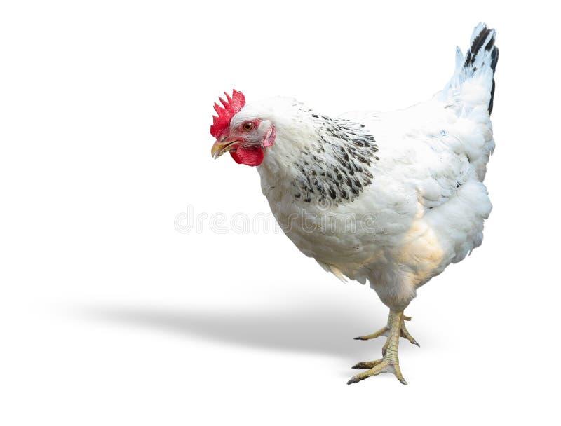 Blanc avec le poulet noir d'isolement au-dessus du blanc photo stock