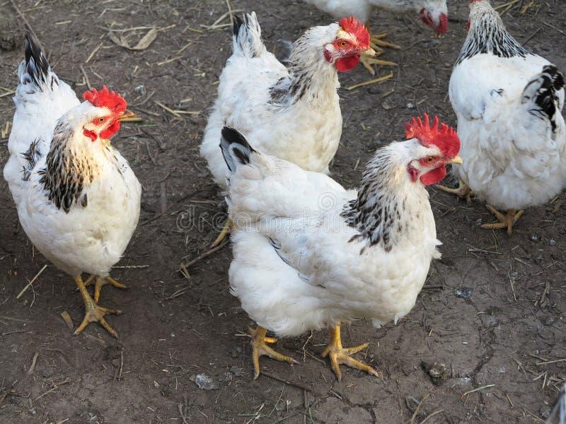 Blanc avec le poulet noir dans la cour de la ferme photo libre de droits