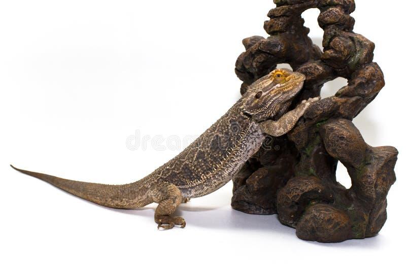 blanc barbu de dragon image libre de droits