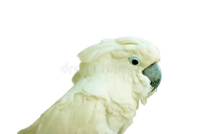 Blanc - cacatoès crêté d'isolement photographie stock libre de droits