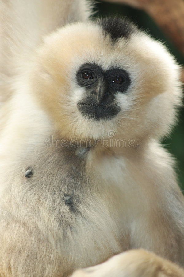 blanc cheeked de gibbon photographie stock