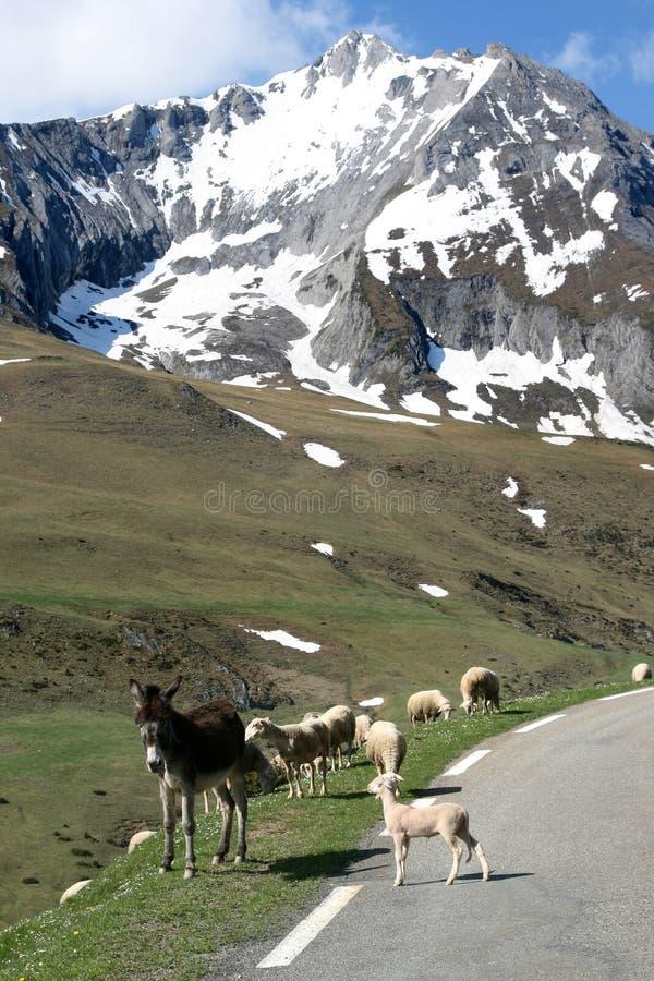 blanc couvert de neige de moutons de montagnes d'âne image libre de droits