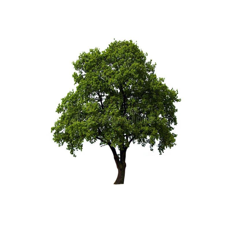 blanc d'arbre d'isolement par vert images stock