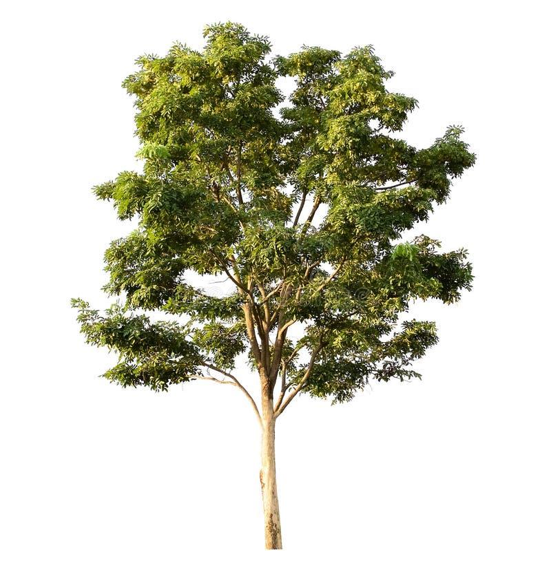 blanc d'isolement d'arbre image libre de droits