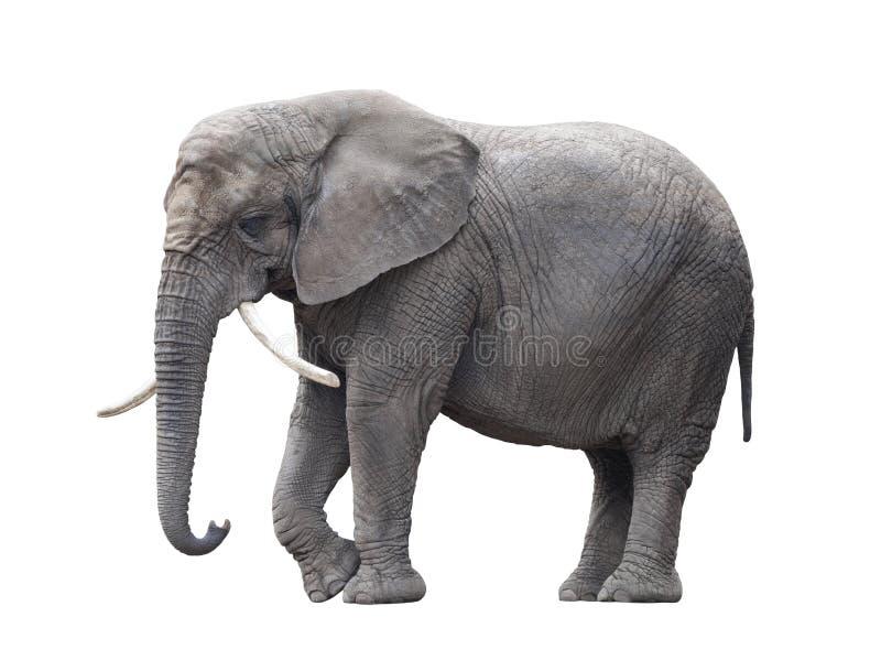 blanc d'isolement d'éléphant africain photographie stock