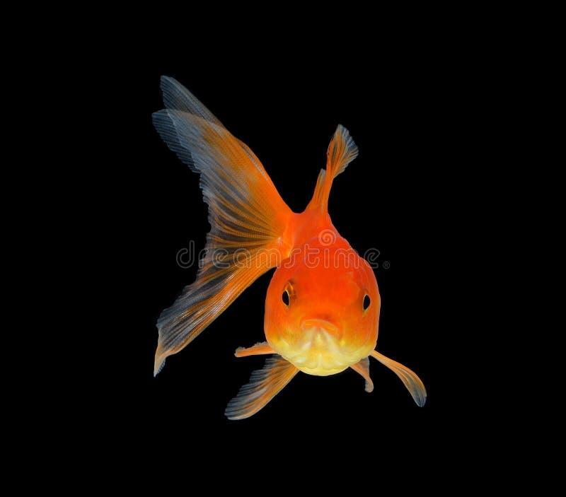 blanc d'isolement d'or de poissons images stock