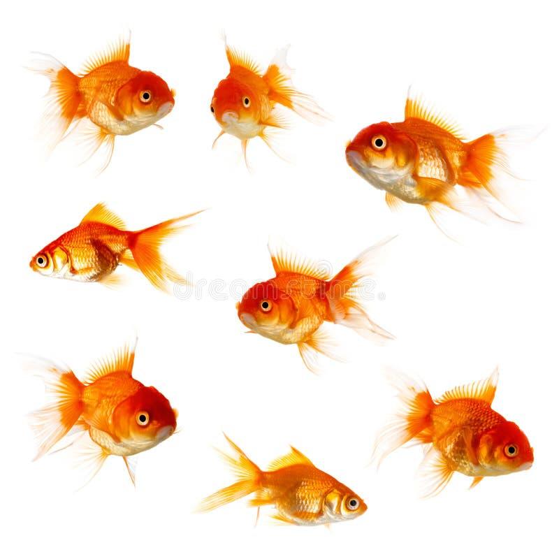 blanc d'isolement d'or de poissons photo libre de droits