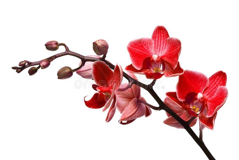 blanc d'isolement d'orchidée photos stock