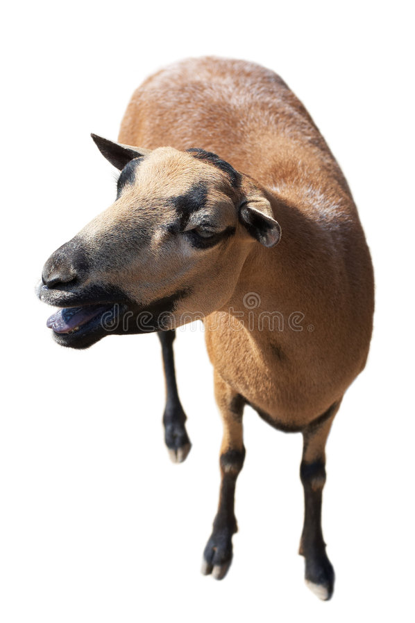 blanc d'isolement par chèvre photo stock