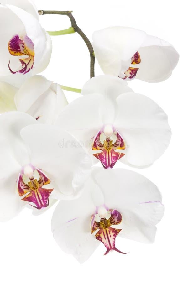 blanc d'orchidée images stock