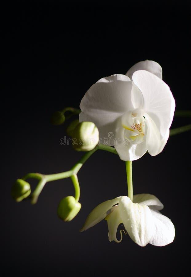 blanc d'orchidée photographie stock
