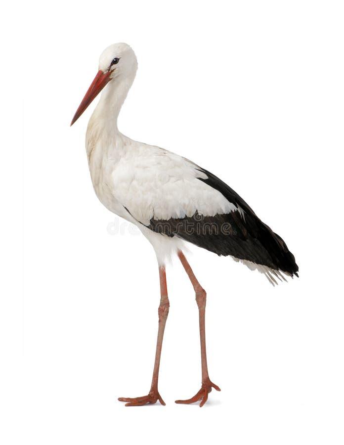 blanc de cigogne de 18 mois de ciconia photo stock