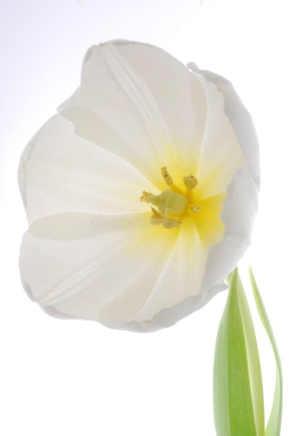 blanc de fleur images libres de droits