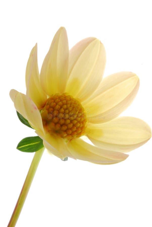 blanc de fleur photographie stock libre de droits